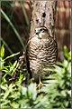 Sparrowhawk, a garden visitor.jpg