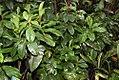 Spathiphyllum friedrichsthalii 3zz.jpg