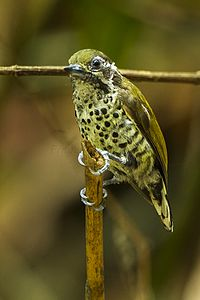 Speckled Piculet - Thailand S4E5000 (15788024654).jpg