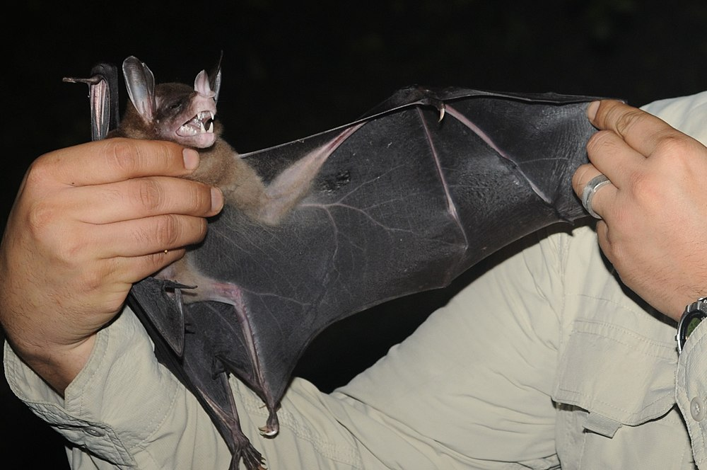The average litter size of a Spectral bat is 1