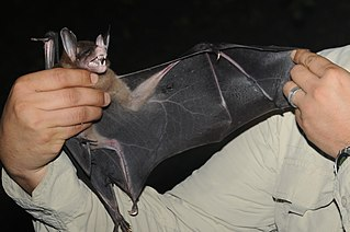 Spectral bat the largest living carnivorous bat in the world
