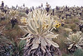 Spieces of flowers plants Ecuador.jpg