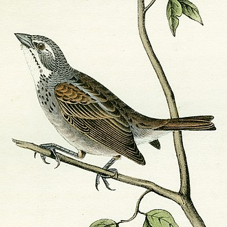 """Dickcissel - Lithograph of """"Townsend's Bunting"""""""