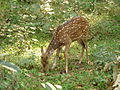 Spot Deer 1.JPG