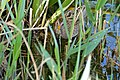 Spotted Crake (Porzana porzana) (26476378851).jpg