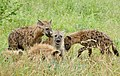 Spotted Hyenas (Crocuta crocuta) youngs playing ... (50132613063).jpg