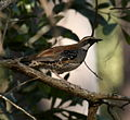 Spotted quailthrush woodwardrd aug08.jpg
