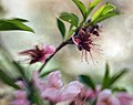 Spring Blooming Peach.jpg