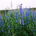 Spring Flower 1 - panoramio.jpg