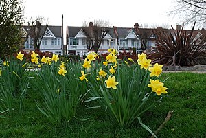 Spring has sprung Daffodils in Southchurch park