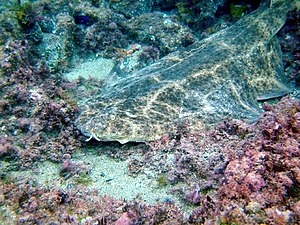 Squatina squatina - The angelshark is well-camouflaged against the sea floor.
