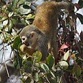 Squirrel monkey- Bonnet House, Fort Lauderdale, Florida (6748464031).jpg