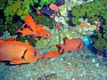 Squirrelfish at Disneyland dsc04513.jpg