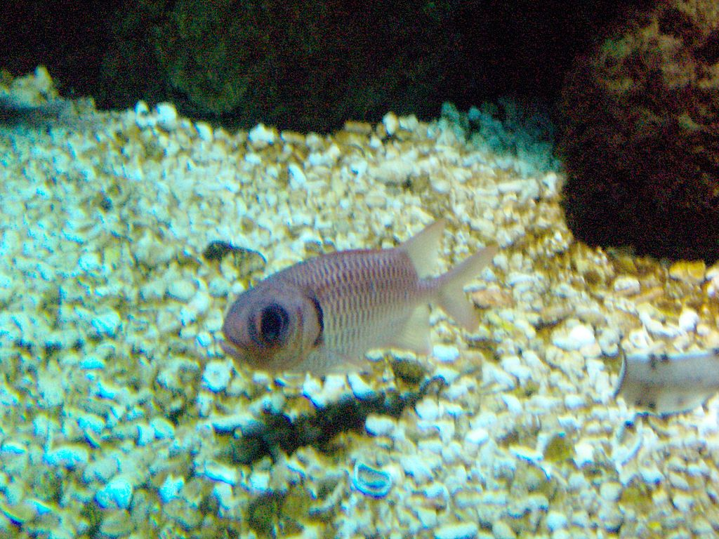 File:Squirrelfish in sea life Helsinki.JPG - Wikimedia Commons