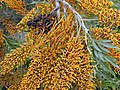 Starr-010419-0005-Grevillea robusta-flowers and fruit-Kula-Maui (24164408229).jpg