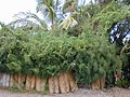 Starr-010424-0030-Coccinia grandis-smothering habit-Maui Meadows Kihei-Maui (24449897781).jpg