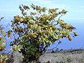 Starr-010714-0013-Bocconia frutescens-habit-Auwahi-Maui (23906177123).jpg