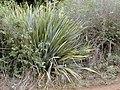 Starr-010717-0066-Phormium tenax-habit in scrub-Kula-Maui (24165304259).jpg