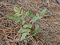 Starr-021126-0072-Rubus niveus-form b small plant-Polipoli-Maui (24527389286).jpg