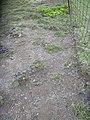 Starr-040514-0114-Cynodon dactylon-after hand weeding-Puhilele HNP-Maui (24406927530).jpg