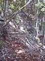 Starr-040828-0042-Cordyline fruticosa-trail building-Makawao Forest Reserve-Maui (24419836610).jpg