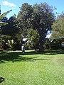 Starr-041022-0016-Schinus terebinthifolius-habit-Makawao-Maui (24422573240).jpg