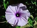 Starr-050303-4824-Ipomoea cairica-flower-Maui Nui Botanical Garden-Maui (24646275791).jpg