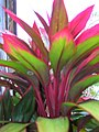Starr-060916-8975-Cordyline fruticosa-red and green leaves-Makawao-Maui (24839156976).jpg
