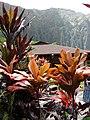 Starr-070515-7057-Cordyline fruticosa-habit-Hoomaluhia Botanical Garden-Oahu (24862907146).jpg