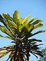 Starr-071024-0324-Dillenia indica-leaves-Enchanting Floral Gardens of Kula-Maui (24267530853).jpg