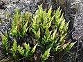 Starr-081014-0165-Asplenium adiantum nigrum-habit-Halemauu Trail Haleakala National Park-Maui (24295638574).jpg