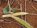 Starr-081230-0682-Cenchrus purpureus-seedheads-Upper Kaulana-Kahoolawe (24631817320).jpg
