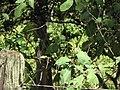 Starr-090610-0494-Solanum torvum-flower leaves and fruit-Haiku-Maui (24336848723).jpg
