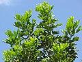 Starr-090813-4203-Cupaniopsis anacardioides-leaves-Kahului-Maui (24675988110).jpg