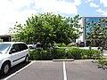 Starr-090813-4207-Cupaniopsis anacardioides-street tree with saplings in hedge-Kahului-Maui (24878176111).jpg