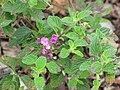 Starr-110307-2735-Lantana montevidensis-flowers and leaves-Kula Botanical Garden-Maui (24451839653).jpg