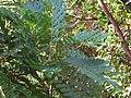 Starr-110330-3928-Filicium decipiens-leaves-Garden of Eden Keanae-Maui (24962797902).jpg