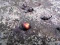 Starr-120229-2875-Syzygium cumini-fruits-Waikapu Valley-Maui (25017950102).jpg