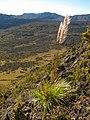 Starr-121018-1022-Cortaderia jubata-seeding habit view Holua and Crater-Halemauu Trail HNP-Maui (25194316875).jpg