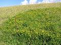 Starr-130605-4721-Lotus uliginosus-flowering habit reservoir bank-Olinda-Maui (25093308472).jpg