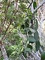 Starr-180927-5565-Vanilla planifolia-flowers-Hawea Pl Olinda-Maui (45766584822).jpg