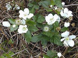 Rubus argutus - Image: Starr 010423 0032 Rubus argutus