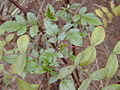Starr 021126-0067 Rubus niveus f. b.jpg