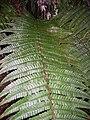 Starr 041211-1357 Dryopteris wallichiana.jpg