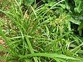 Starr 060625-8204 Cyperus hypochlorus var. hypochlorus.jpg