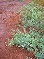 Starr 060721-9522 Heliotropium curassavicum.jpg