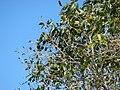 Starr 070306-5099 Syzygium cumini.jpg