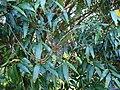Starr 070604-7245 Syzygium jambos.jpg