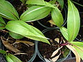 Starr 070906-8350 Setaria palmifolia.jpg