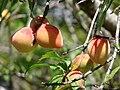 Starr 080317-3637 Prunus persica.jpg